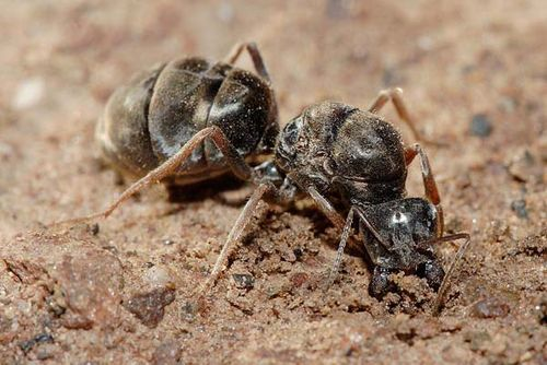 Meat Ant | Iridomyrmex sp photo
