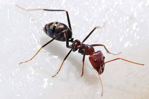 Meat Ant | Iridomyrmex sp photo