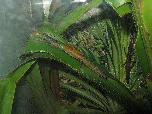 Big-headed Stick Insect | Megacrania alpheus photo