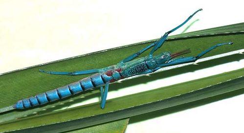 Peppermint Stick Insect | Megacrania batesii photo