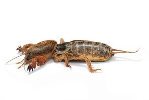 Mole Cricket | Gryllotalpa brachyptera photo