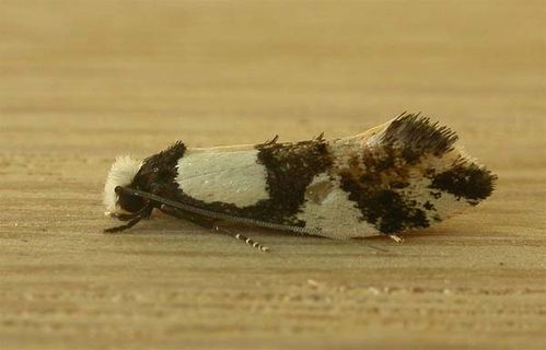 Wool Moth | Monopis icterogastra photo