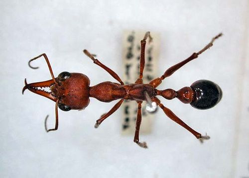 Bulldog Ant | Myrmecia brevinoda photo