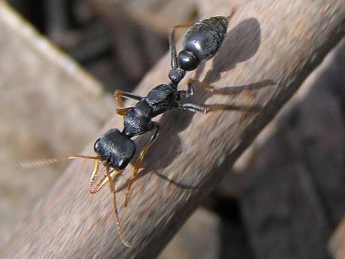 Jack Jumper Ant | Myrmecia pilosula photo