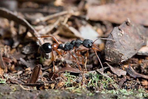 Tasmanian Inchman   Myrmecia esuriens photo