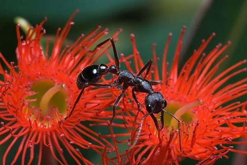 Bulldog Ant | Myrmecia forficata photo