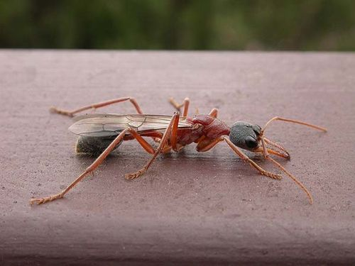 Bulldog Ant | Myrmecia nigriceps photo