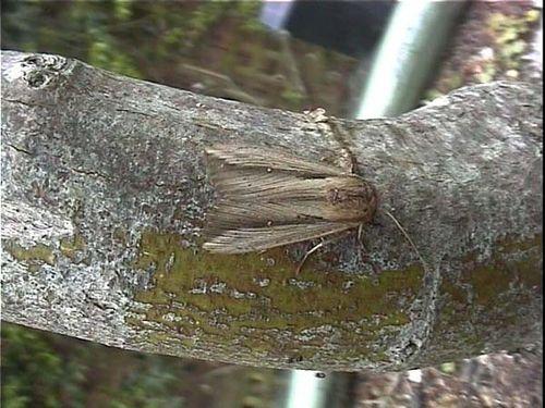 Sugar Cane Armyworm | Leucania stenographa photo