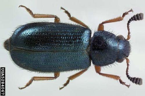 Red-legged Ham Beetle | Necrobia rufipes photo