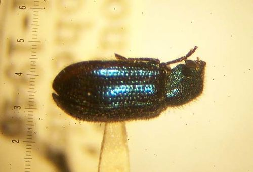 Blacklegged Ham Beetle   Necrobia violacea photo