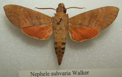 Hawk Moth | Nephele subvaria photo