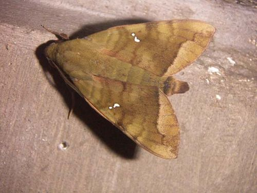 Hawk Moth | Nephele hespera photo