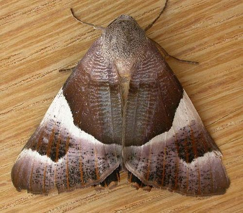Macrocosma Moth | Niceteria macrocosma photo
