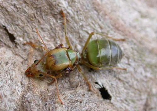 Green Tree Ant | Oecophylla smaragdina photo