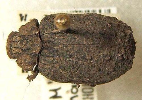 Carcass Beetle   Omorgus alternans photo