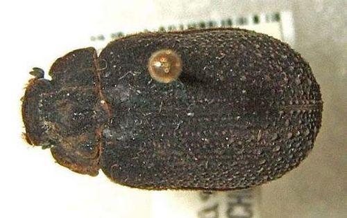 Carcass Beetle   Omorgus amictus photo