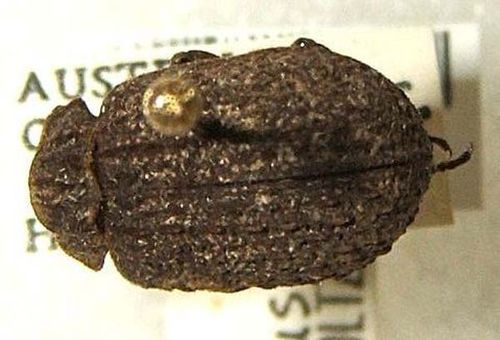 Carcass Beetle | Omorgus costatus photo