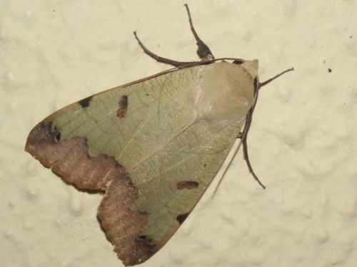 Green Drab moth | Ophiusa tirhaca photo