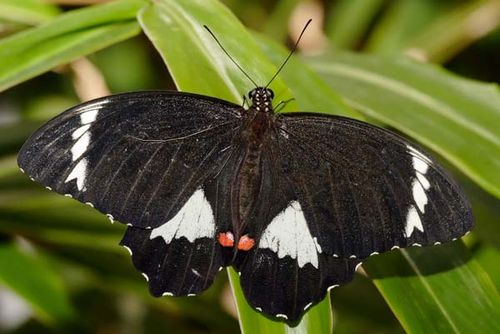 Orchard Swallowtail | Papilio aegeus photo