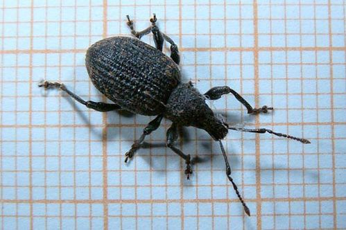 Black Vine Weevil | Otiorhynchus sulcatus photo
