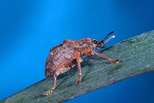 Melaleuca Snout Beetle | Oxyops vitiosa photo