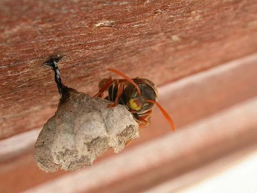 Common Paper Wasp | Polistes humilis photo