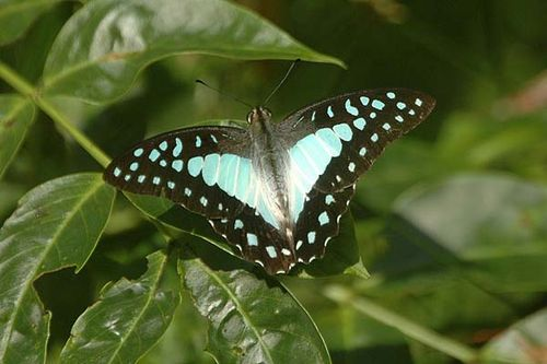Pale Triangle | Graphium eurypylus photo