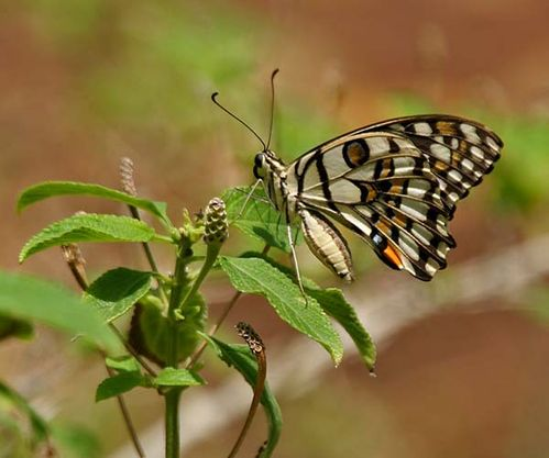 Chequered Swallowtail | Papilio demoleus photo