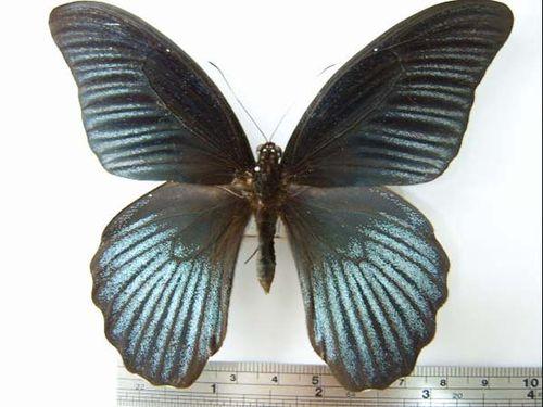 Christmas Swallowtail | Papilio memnon photo
