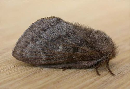 She-Oak Moth | Pernattia pusilla photo