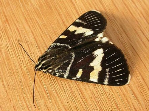 Grapevine Moth | Phalaenoides glycinae photo