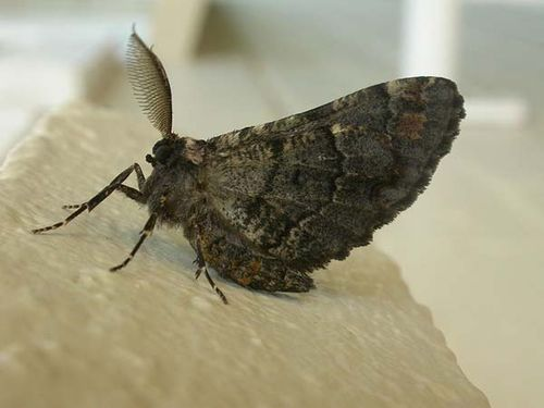 Sinister Moth | Pholodes sinistraria photo
