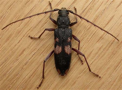 Longicorn Beetle | Phoracantha punctata photo