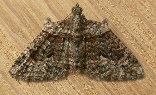 Apple Looper Moth | Phrissogonus laticostata photo