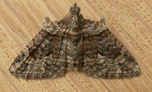 Apple Looper Moth | Phrissogonus laticostata photo