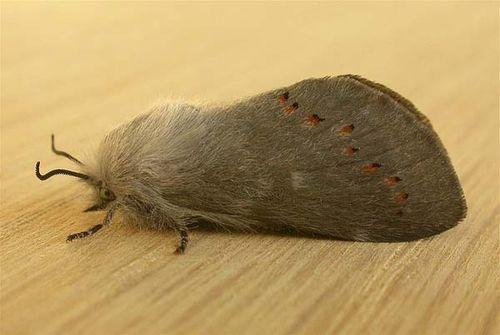 Pinara Moth   Pinara divisa photo