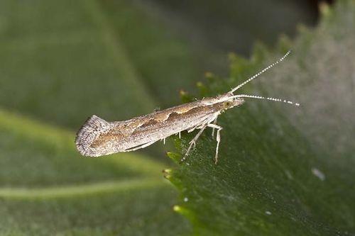 Diamondback moth | Plutella xylostella photo