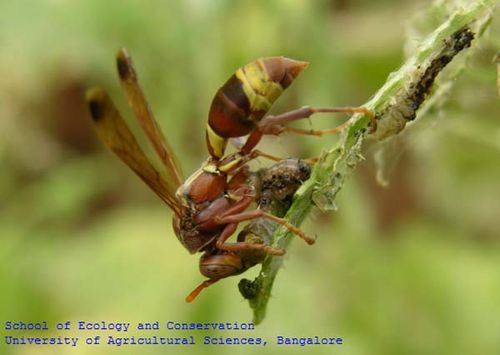 Tropical Paper Wasp | Polistes stigma photo