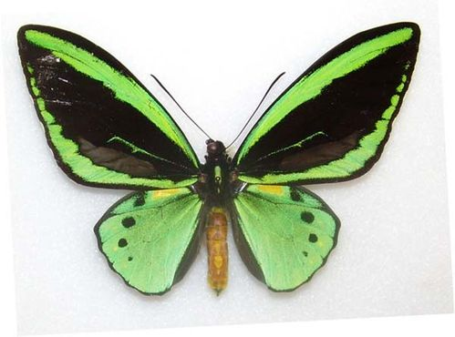 New Guinea Birdwing | Ornithoptera priamus photo
