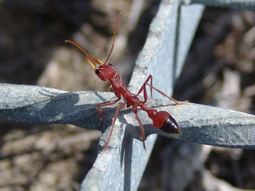 Red Bull Ant | Myrmecia gulosa photo