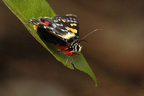 Regent Skipper | Euschemon rafflesia photo