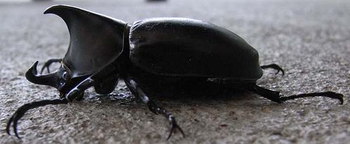 Rhinoceros Beetle | Xylotrupes ulysses photo