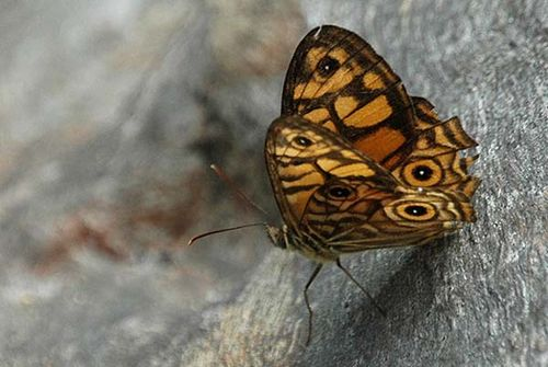 Ringed Xenica | Geitoneura acantha photo