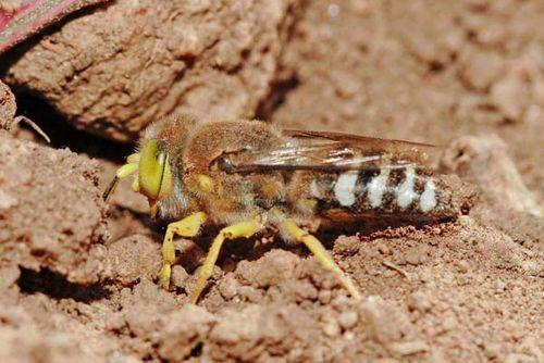 Sand Wasp | Bembix sp photo