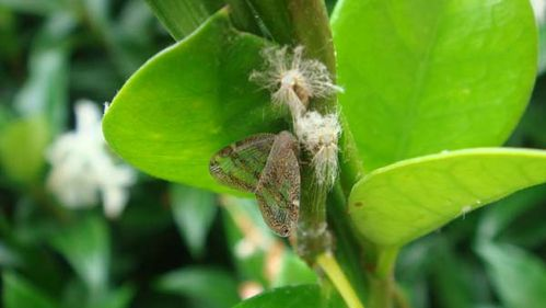 Passionvine Hopper | Scolypopa australis photo