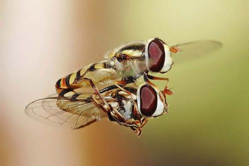 Hoverfly | Simosyrphus grandicornis photo
