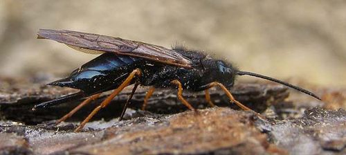Sirex Wasp | Sirex noctilio photo