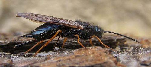 Sirex Wasp | Sirex noctilio photo