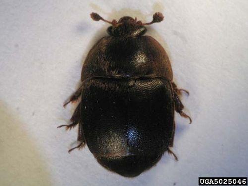 Small Hive Beetle | Aethina tumida photo