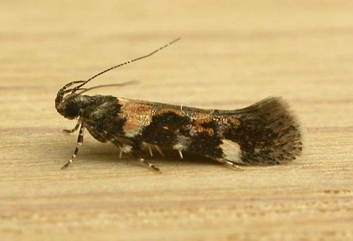 Gelechiid Moth | Stegasta variana photo